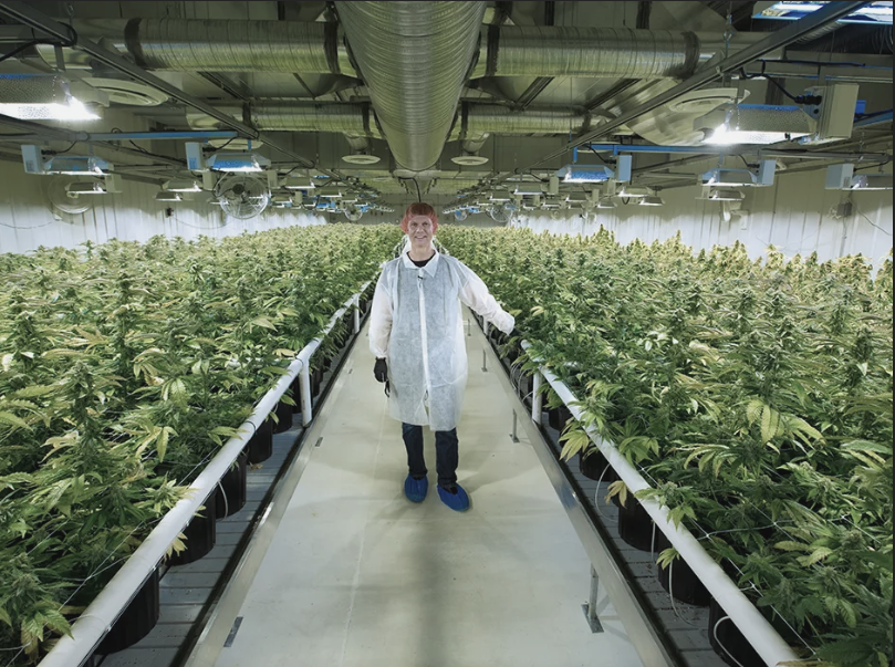 Aurora Cannabis    The Biggest Cannabis Producer In the