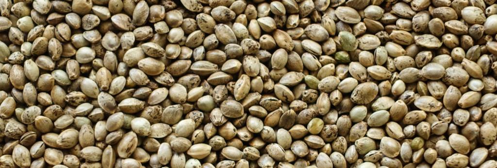 Seed Stock and Genetics   Kush com