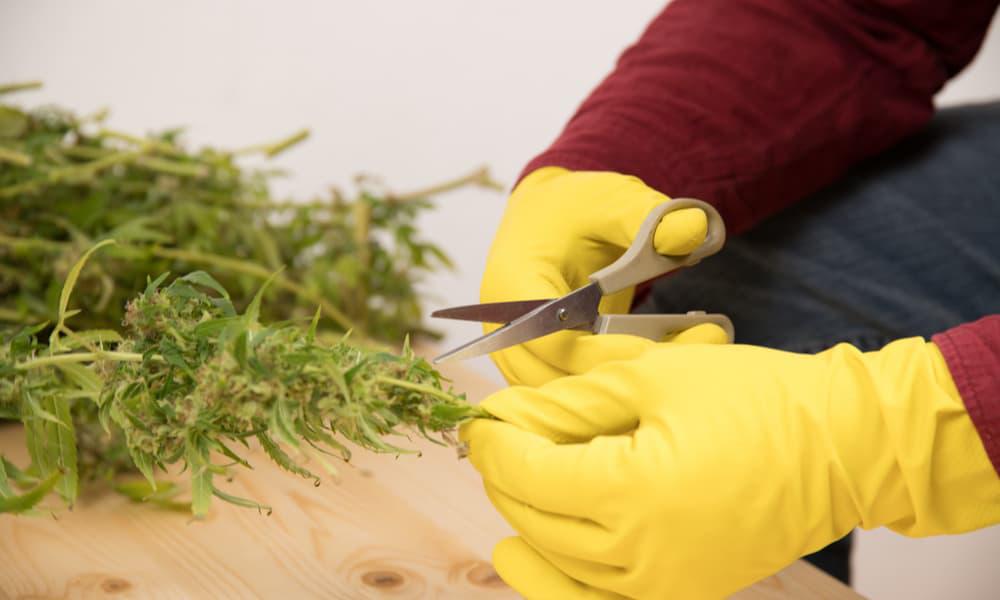 hand-trimmed-cannabis-vs-machine-trimmed-hemp-kush-marketplace2