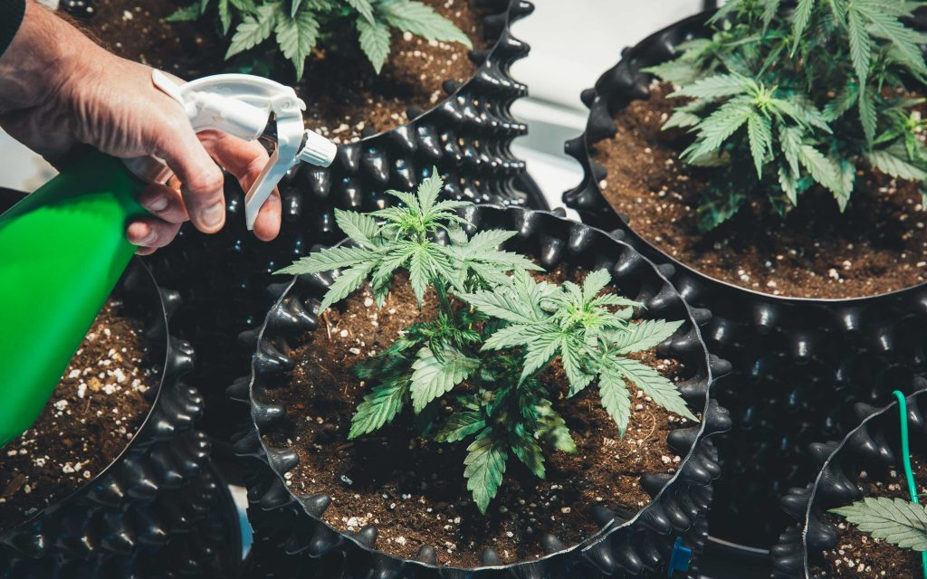 what-are-the-differences-between-male-and-female-cannabis-plants-kush
