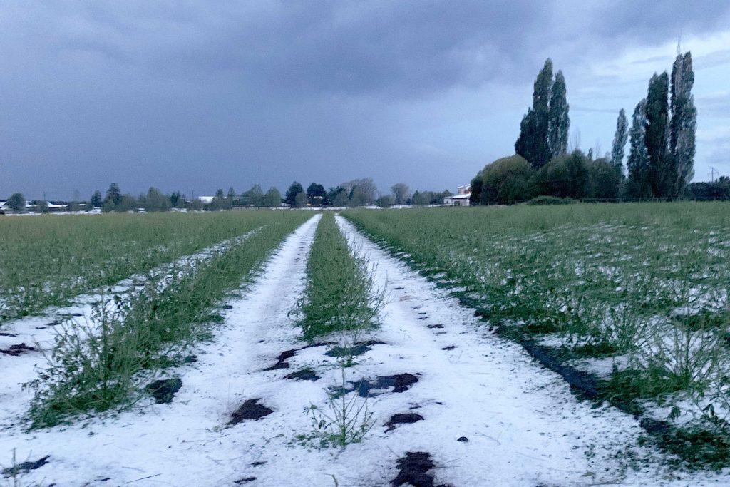 Hail Causes Major Loss to Oregon Hemp Farmers | Kush com